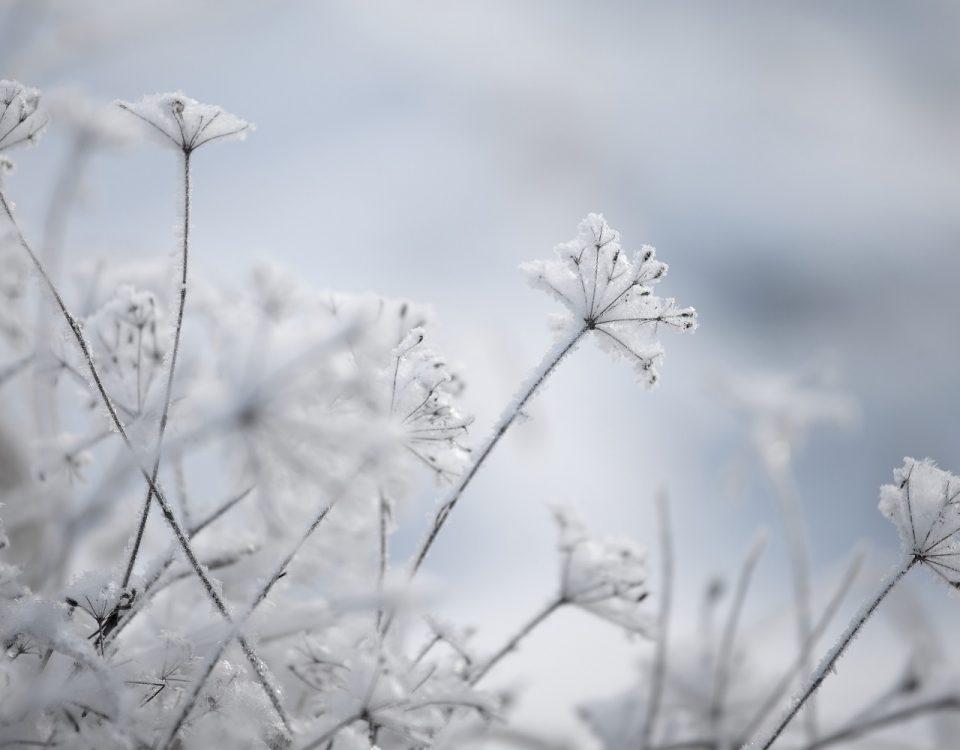 zima, snieg, platki, rosliny, frozen plants, winter