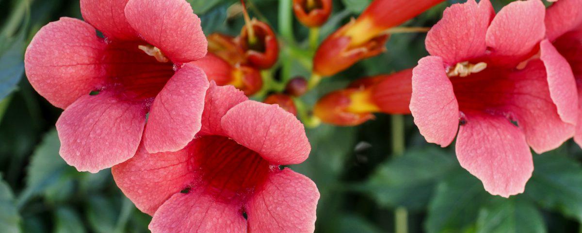Campsis (trumpet creeper, trumpet vine) flower blossom