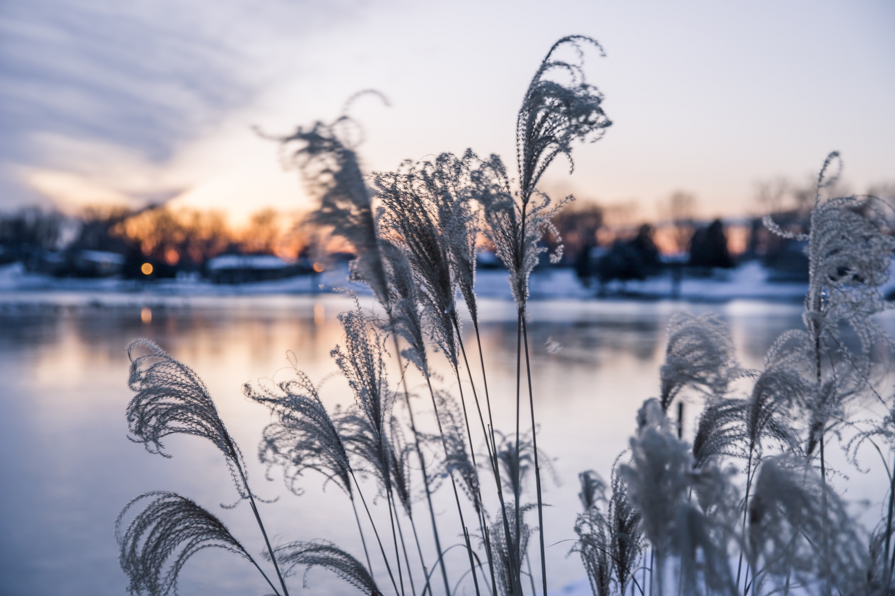 Ornamental High Grasses in the Wind in Golden Winter Sunset over